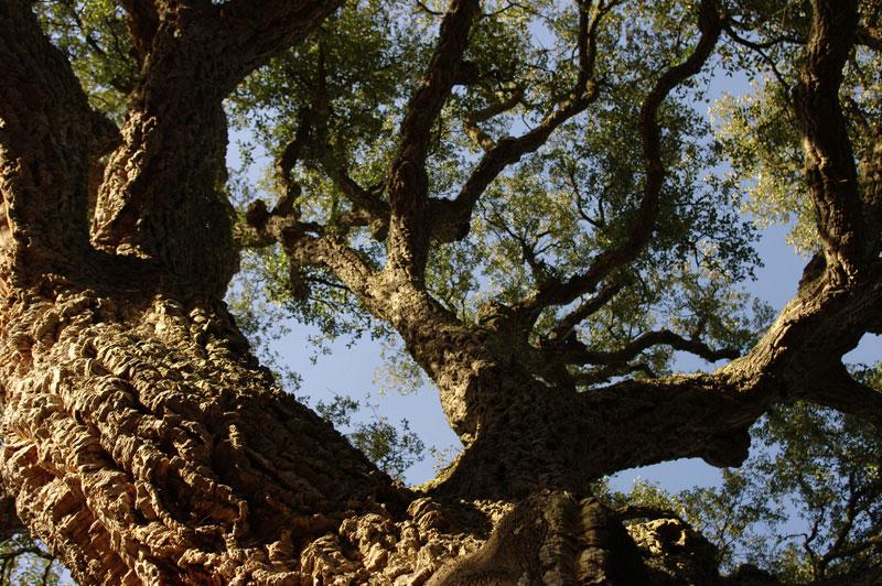 Испанский лес. Пробковый дуб.