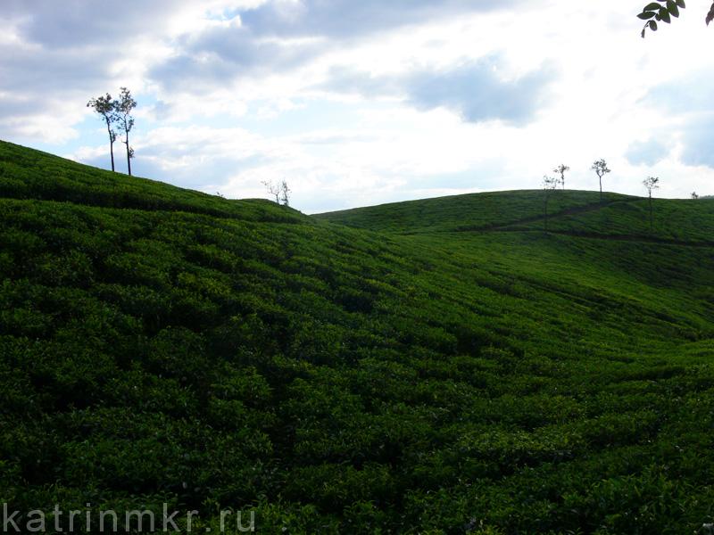 По дороге из Аллепи в Кумли. Чайные плантации.