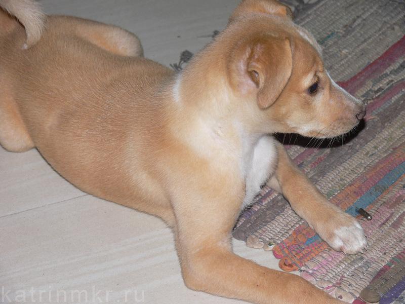 Типичная индийская порода собак. Эта милая собачка живет при гест хаузе в Аллепи.