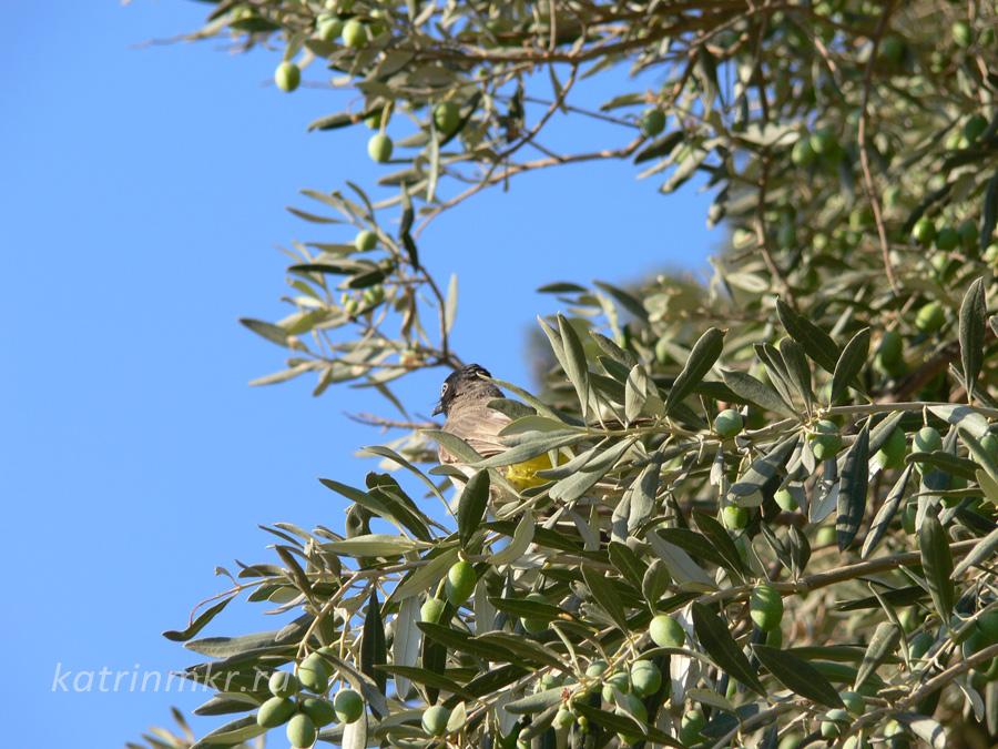 Цфат. Оливковые деревья.